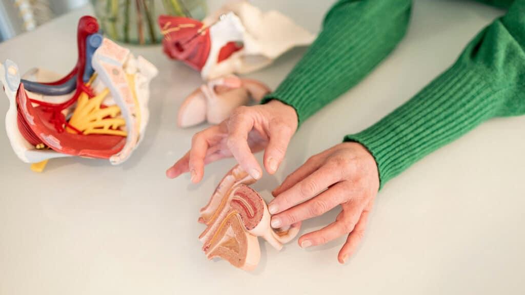 Anatomie van het bekken